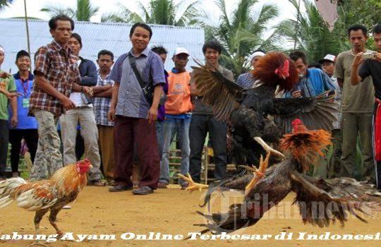 Sabung Ayam Online Terbesar di Indonesia